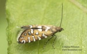 Glyphipterix bergstraesserella