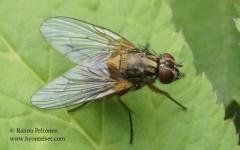 Mydaea corni 1