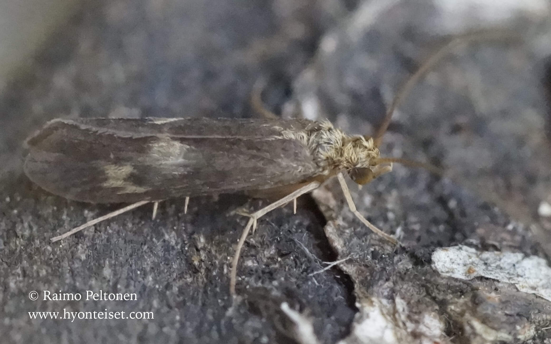 Neureclipsis bimaculata-täplätorvirysäkäs, 21.6.2016 Laukaa