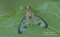 Palloptera marginata 1