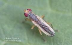 Pherbellia albocostata 1