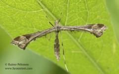 Platyptilia gonodactyla