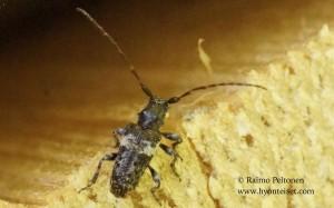 Pogonocherus fasciculatus 1