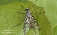 Rhagio scolopaceus 1