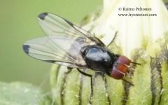 Seioptera vibrans 1