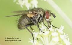 Allophorocera ferruginea 2