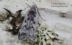 Anacampsis blattariella