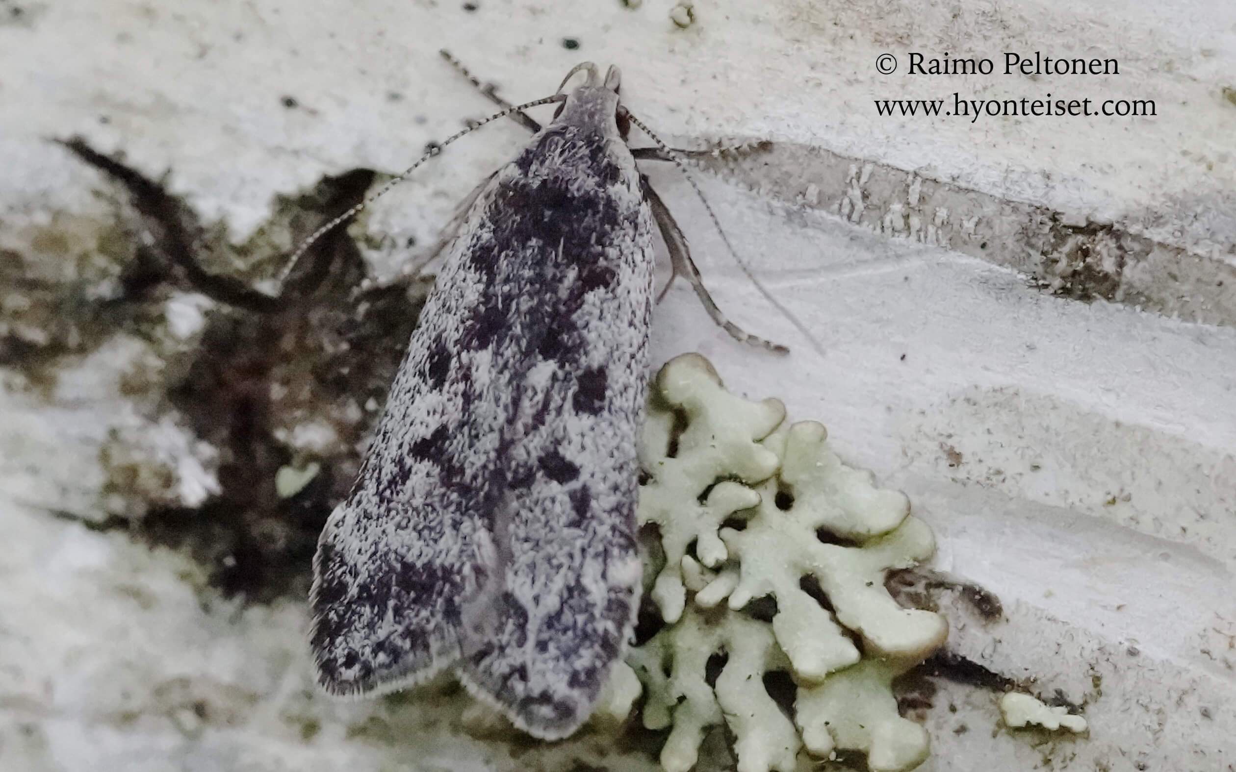 Anacampsis blattariella-koivuhiilikoi (det. Harri Jalava), 3.7.2016 Jyväskylä