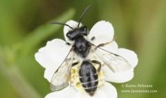 Andrena denticulata 3