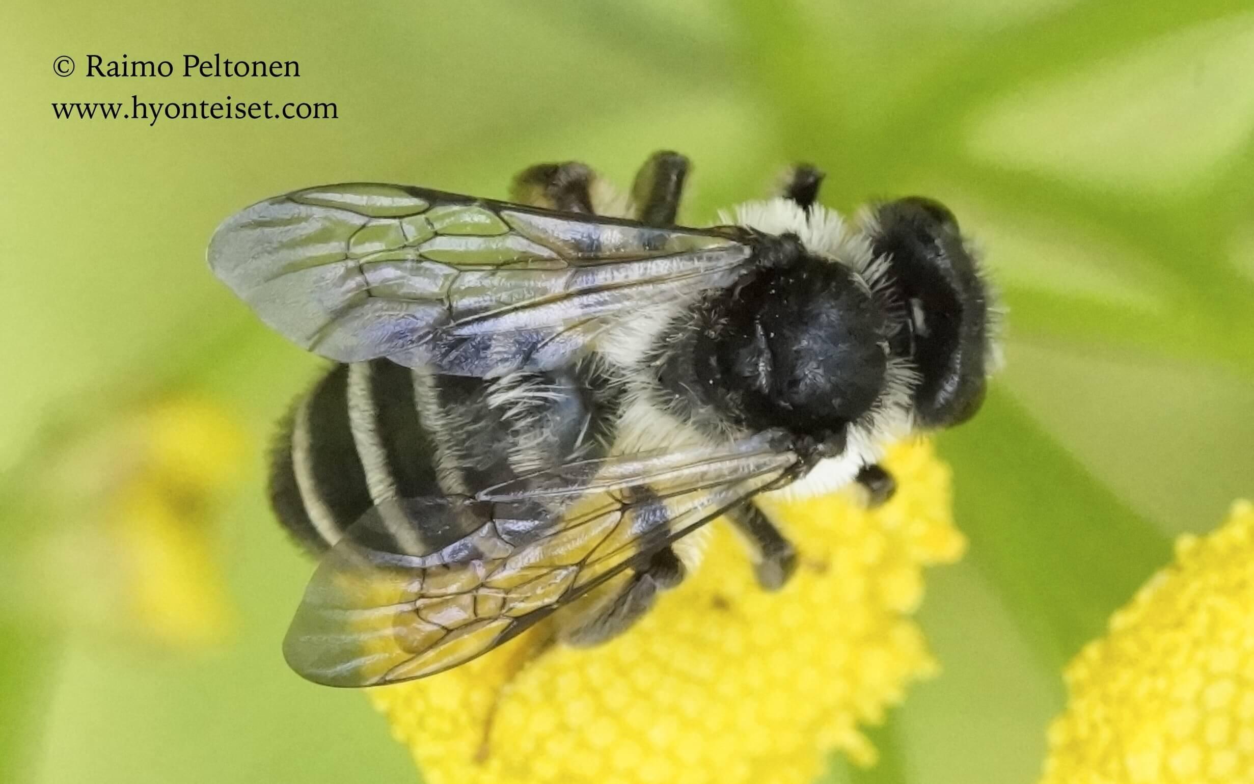 Andrena denticulata-syysmaamehiläinen, naaras (det. Juho Paukkunen), 16.7.2016 Jyväskylä
