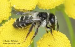 Andrena denticulata 2