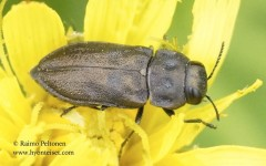 Anthaxia quadripunctata