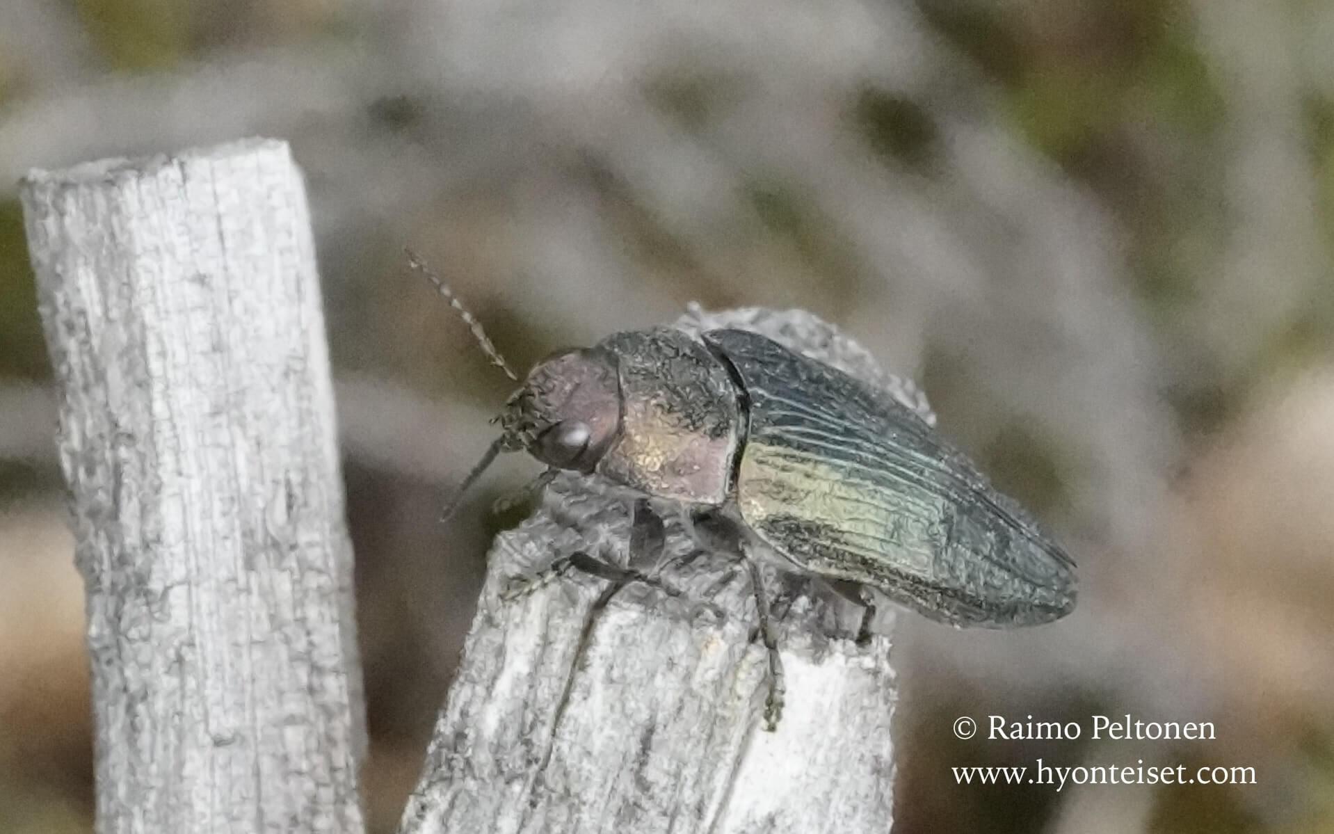 Buprestis rustica-viherjalokuoriainen, 2.7.2016 Jyväskylä