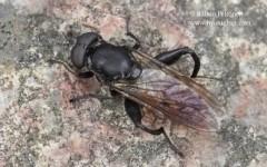 Chalcosyrphus nemorum 1