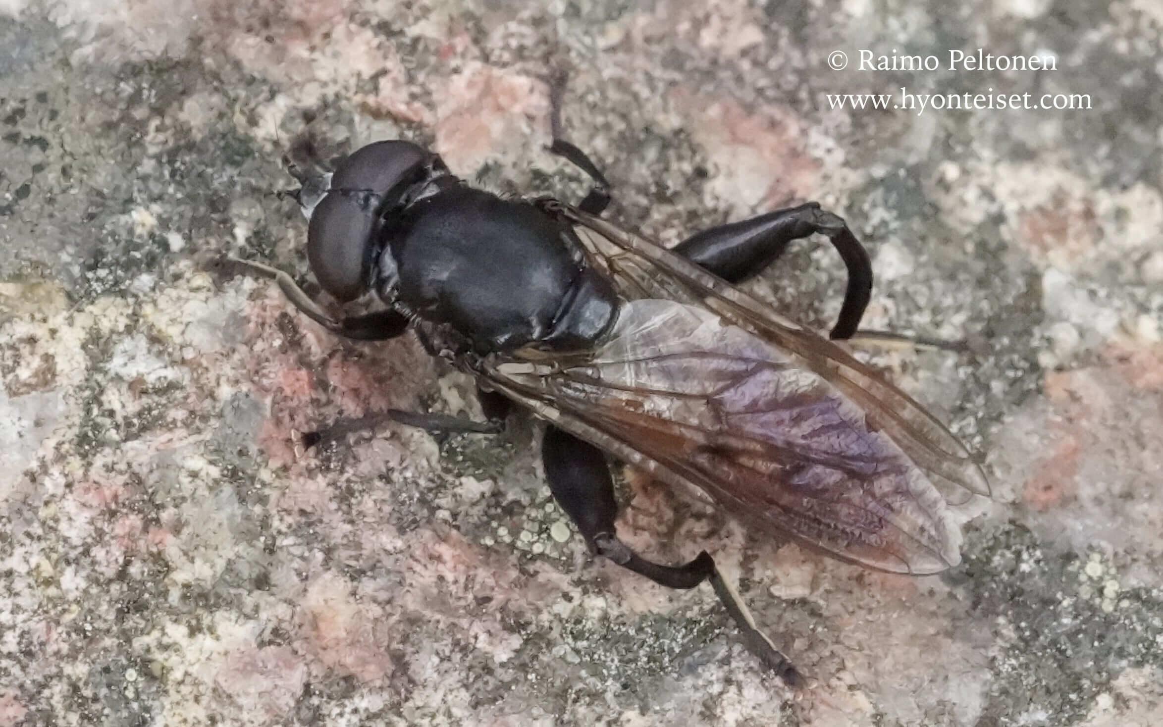 Chalcosyrphus nemorum-pajupuuhari (det. Antti Haarto), 13.7.2016 Ähtäri