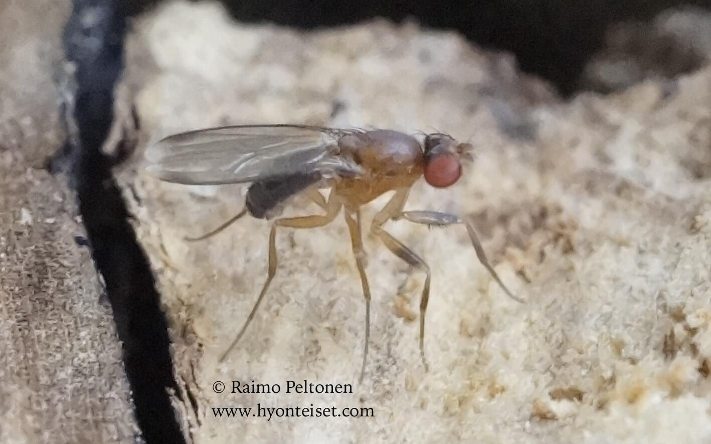 Chymomyza fuscimana (det. Stephane Lebrun), 21.7.2016 Muurame