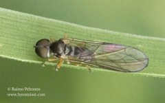 Dorylomorpha sp. 1