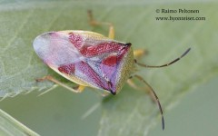 Elasmostethus interstinctus 2