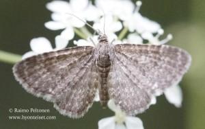 Eupithecia pygmaeata
