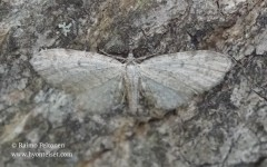 Eupithecia tenuiata