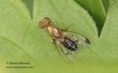 Geomyza balahowskyi/hackmani