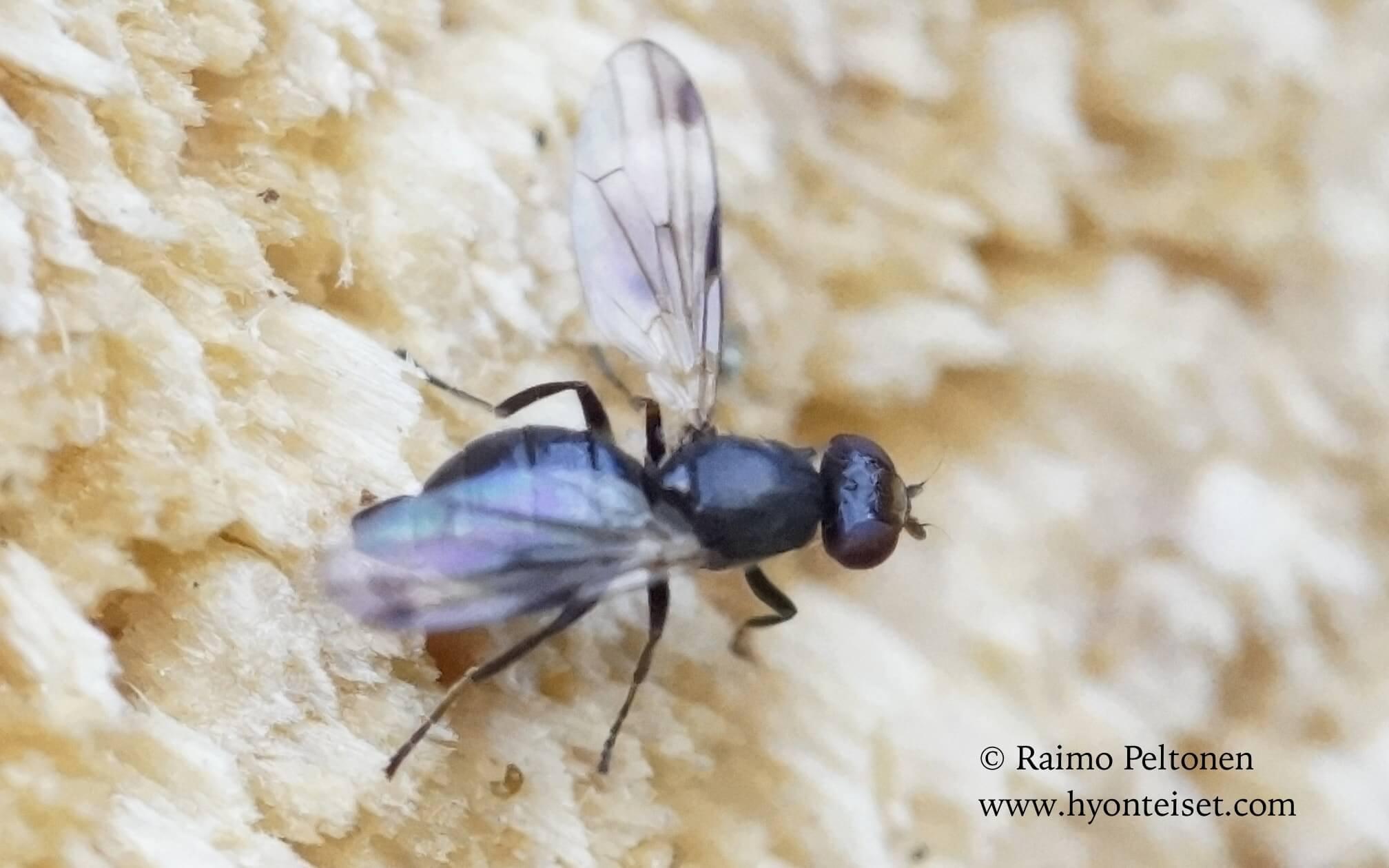 Homalocephala biumbrata (det. Kaj Winqvist), 14.7.2016 Muurame