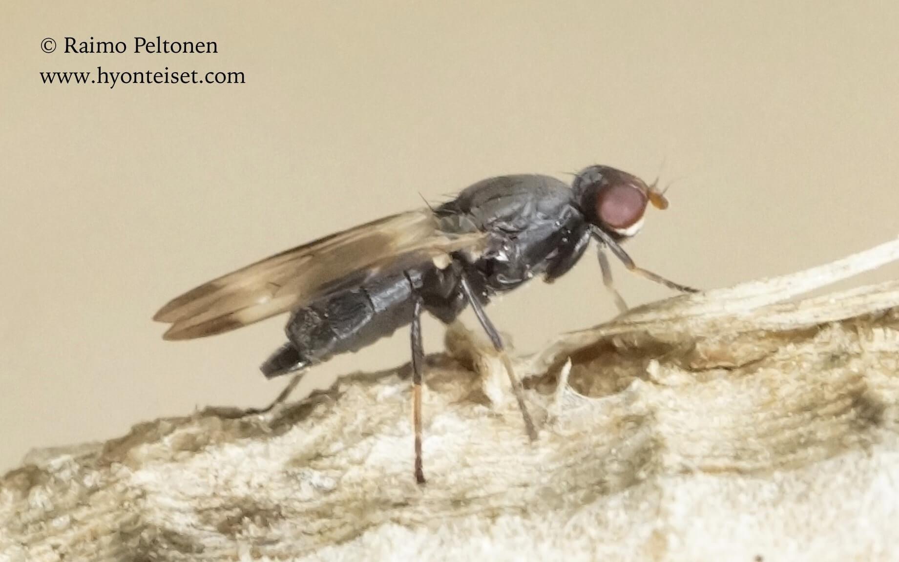 Homalocephala biumbrata (det. Kaj Winqvist), 21.7.2016 Muurame
