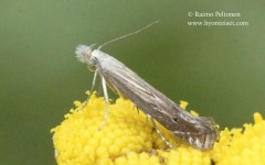 Isoprichtis striatella