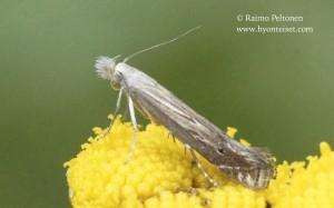Isoprichtis striatella