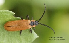 Lygistopterus sanguineus 2