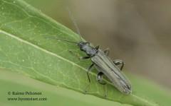 Oedemera virescens 1