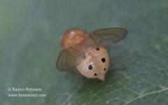 Sapromyza sexpunctata 2