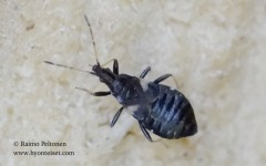 Temnostethus gracilis