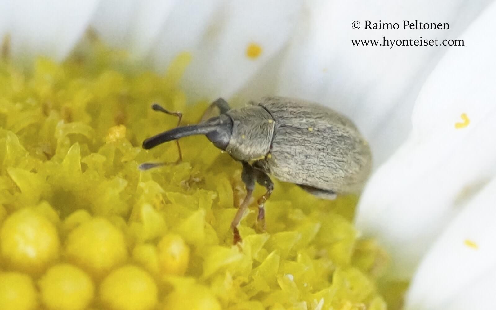 Acalyptus carpini/sericeus - taaja-/harvakelsikärsäkäs (det. Juha Salokannel), 31.7.2016 Jyväskylä
