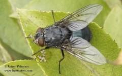 Calliphora cf. uralensis