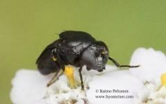 Discomyza incurva 2