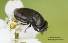 Discomyza incurva 1