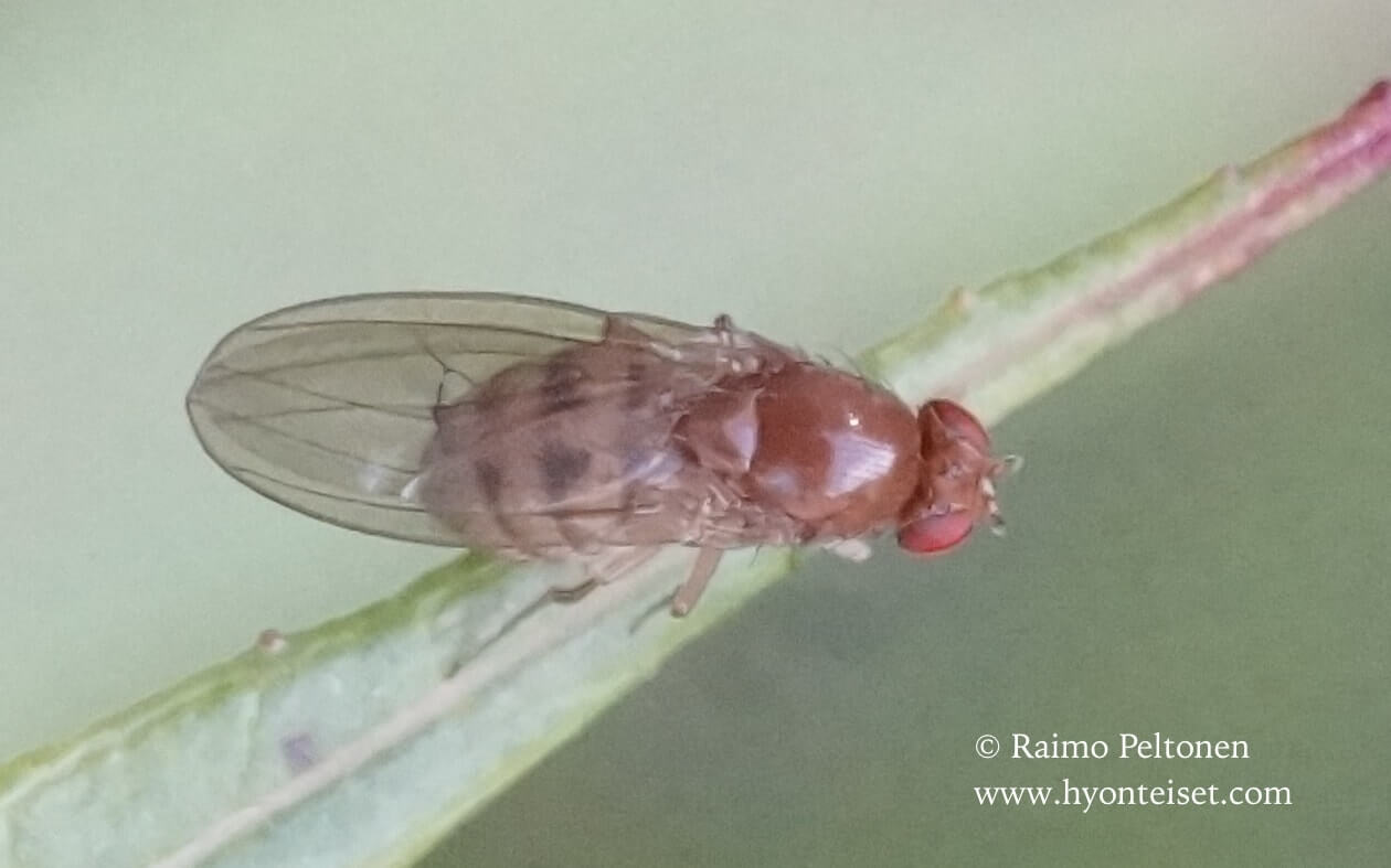 Drosophila phalerata (det. Paul Beuk), 21.8.2016 Jyväskylä