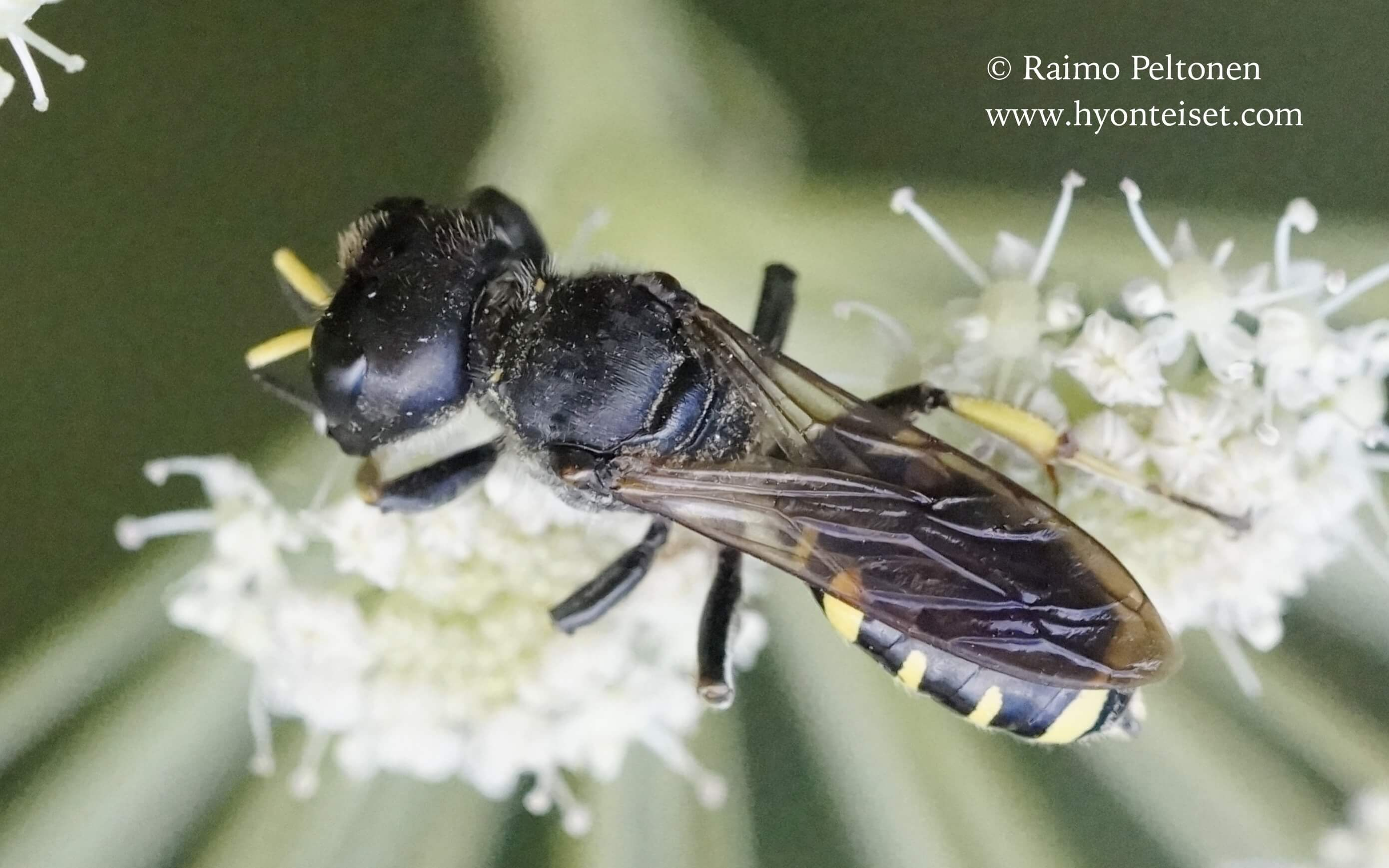 Ectemnius fossorius, naaras (det. Juho Paukkunen), 14.8.2016 Jyväskylä