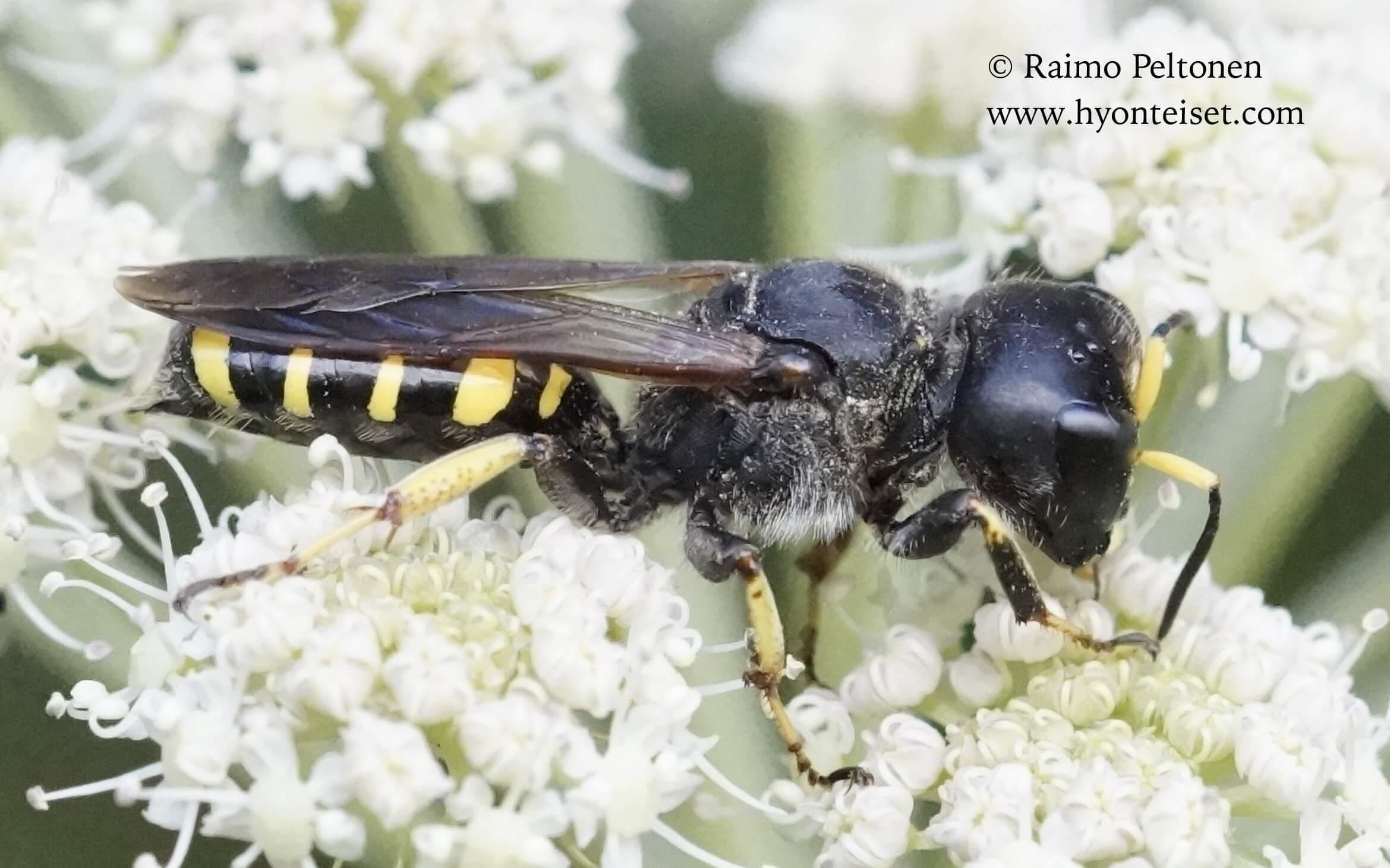 Ectemnius fossorius, naaras (det. Juho Paukkunen) 14.8.2016 Jyväskylä