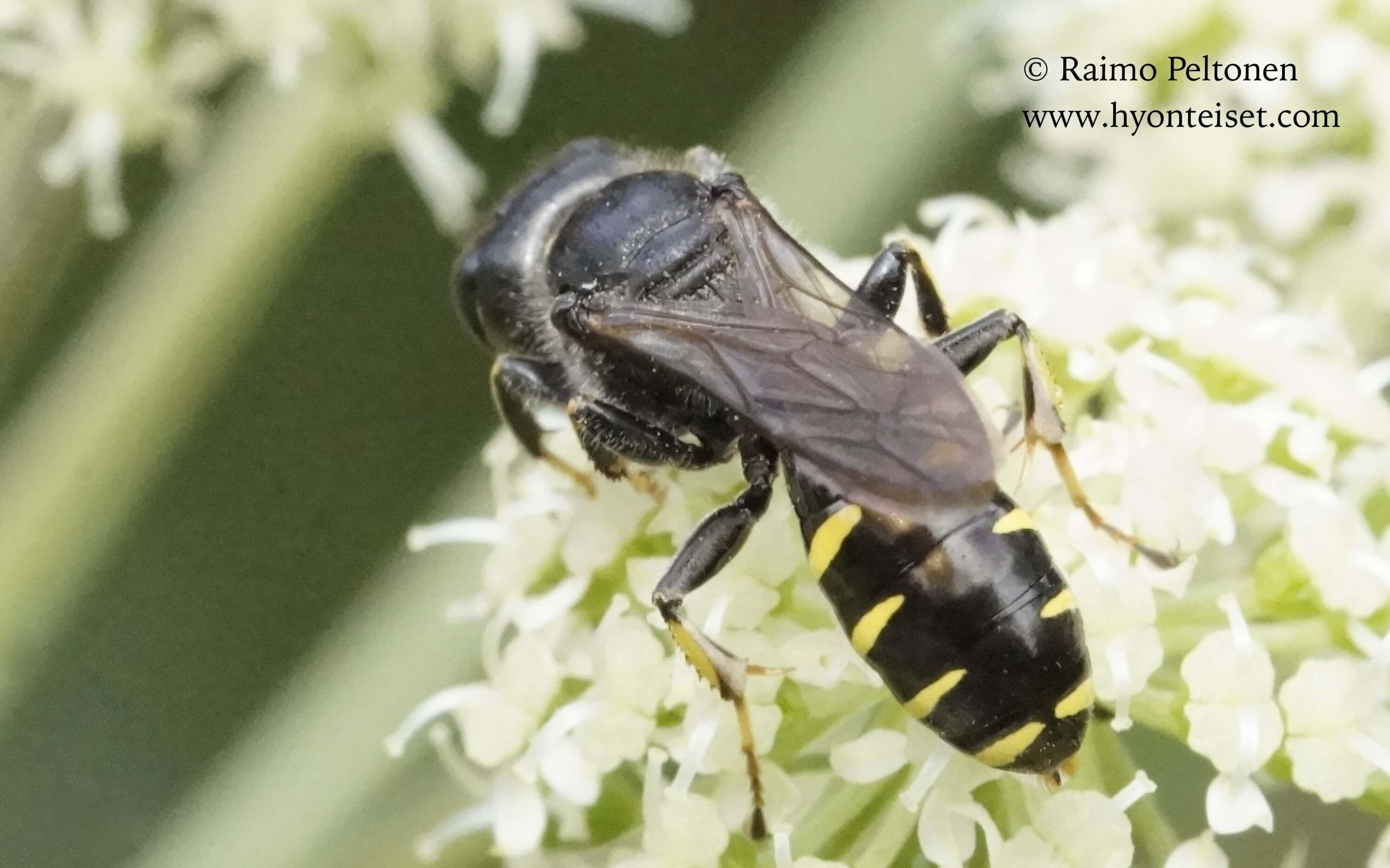 Ectemnius sp.-kärpäshukka, naaras (det. Juho Paukkunen), 28.7.2016 Jyväskylä