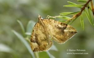 Eulithis populata