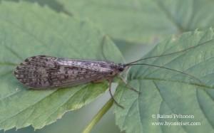 Halesus radiatus/tessellatus