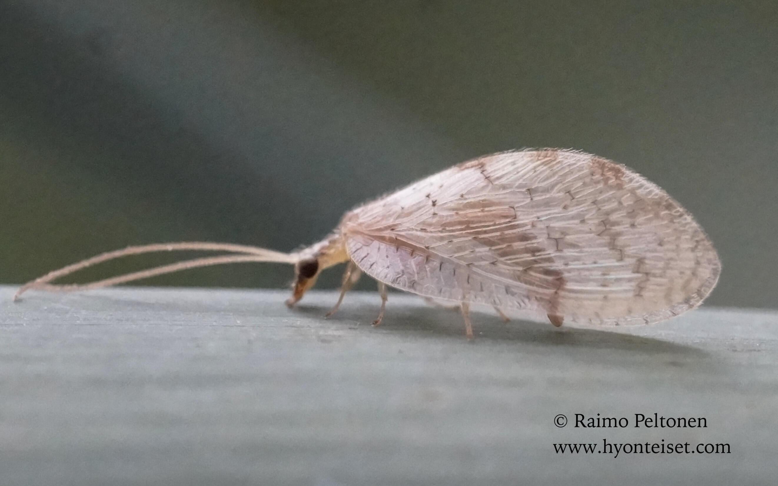 Hemerobius marginatus-reunuskirvakorento, 14.8.2016 Jyväskylä