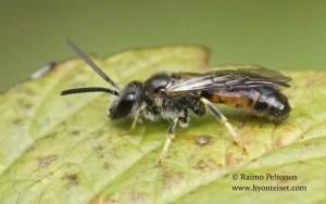 Lasioglossum albipes 2