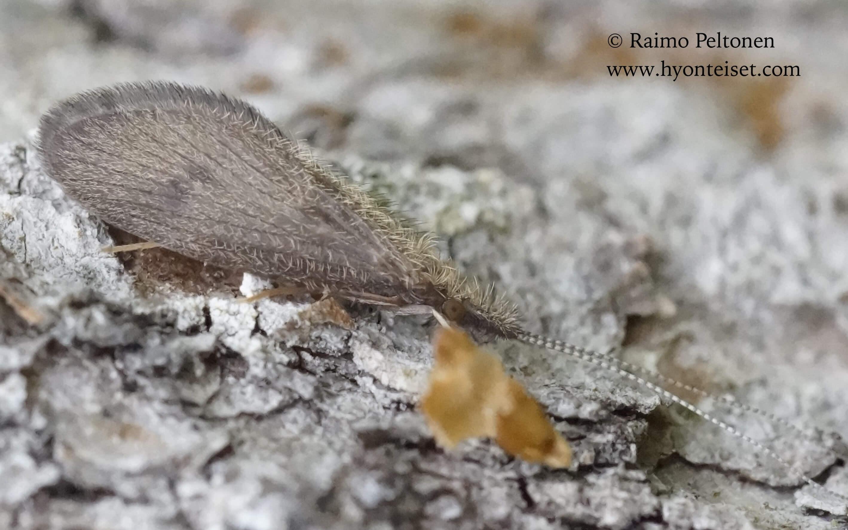 Lepidostoma hirtum-rassisirvikäs (det. Aki Rinne), 8.8.2016 Muurame