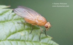 Meiosimyza illota
