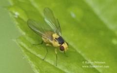 Phytoliriomyza melampyga