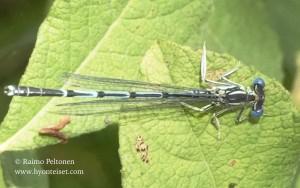 Platycnemis pennipes 1