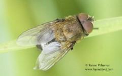 Pollenia amentaria 1